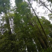 Coastal Redwoods Stout Grove 4