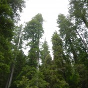 Coastal Redwoods Stout Grove 3