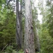 Coastal Redwoods Stout Grove 2