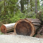 Tree across road - Coastal Redwoods Stout Grove