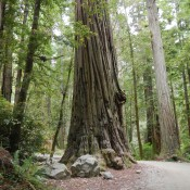 Coastal Redwoods Stout Grove