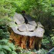 Giant Felled Redwood Base Kenin