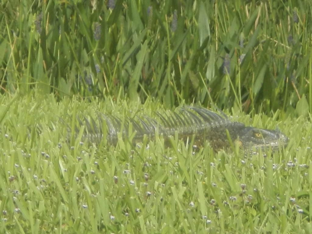 Camouflaged Green Iguana