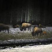 Bison Grazing along the Alaskan Highway