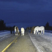 a herd of wild horses along the Alaska Highway