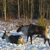 Roadside Elk on the Alaskan highway
