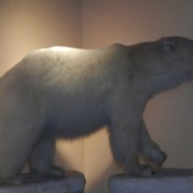 Stuffed Polar bear at Pikes Waterfront Lodge Fairbanks Alaska