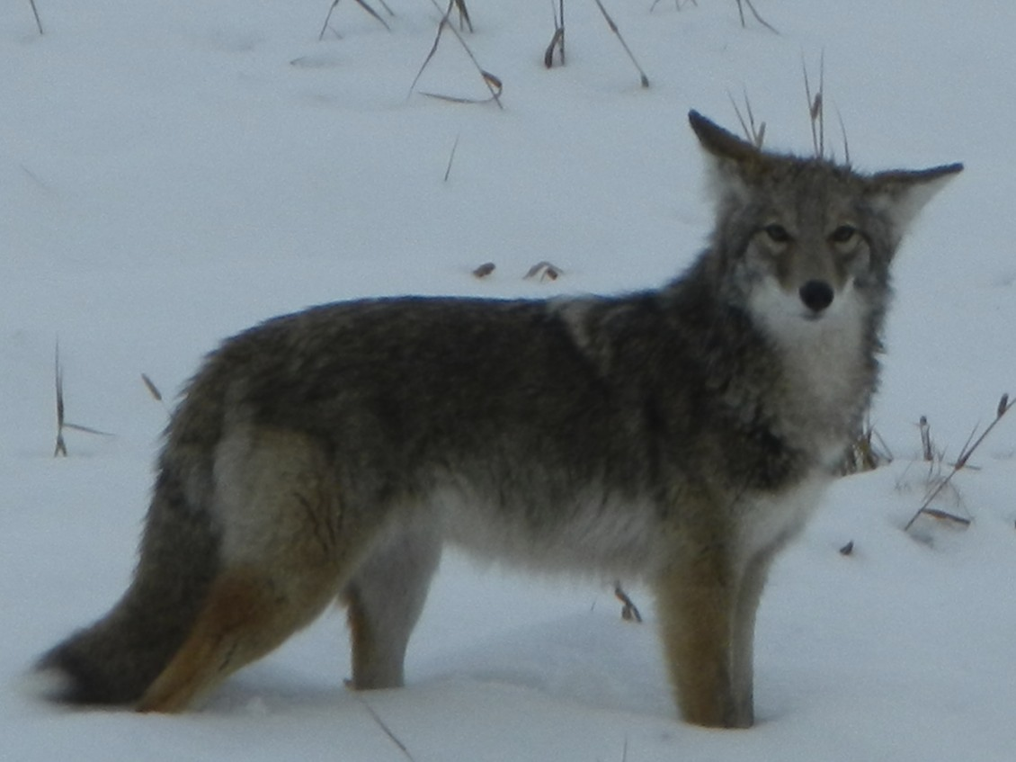 Cute Baby Gray Wolf
