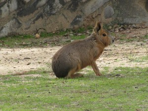 Patagonian Cavy - Travel Bucket List