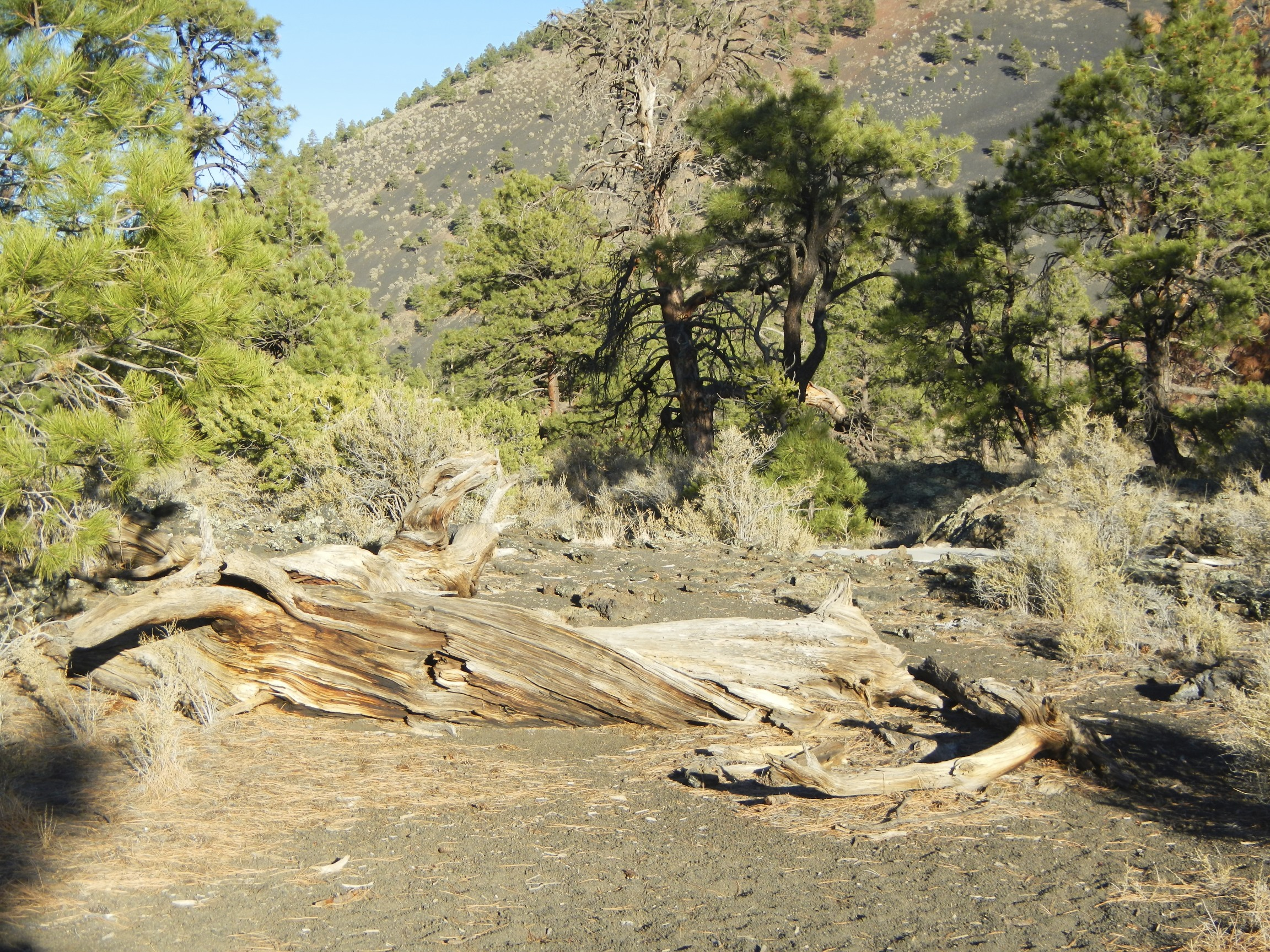 Petrified Tree in Sunset Crater