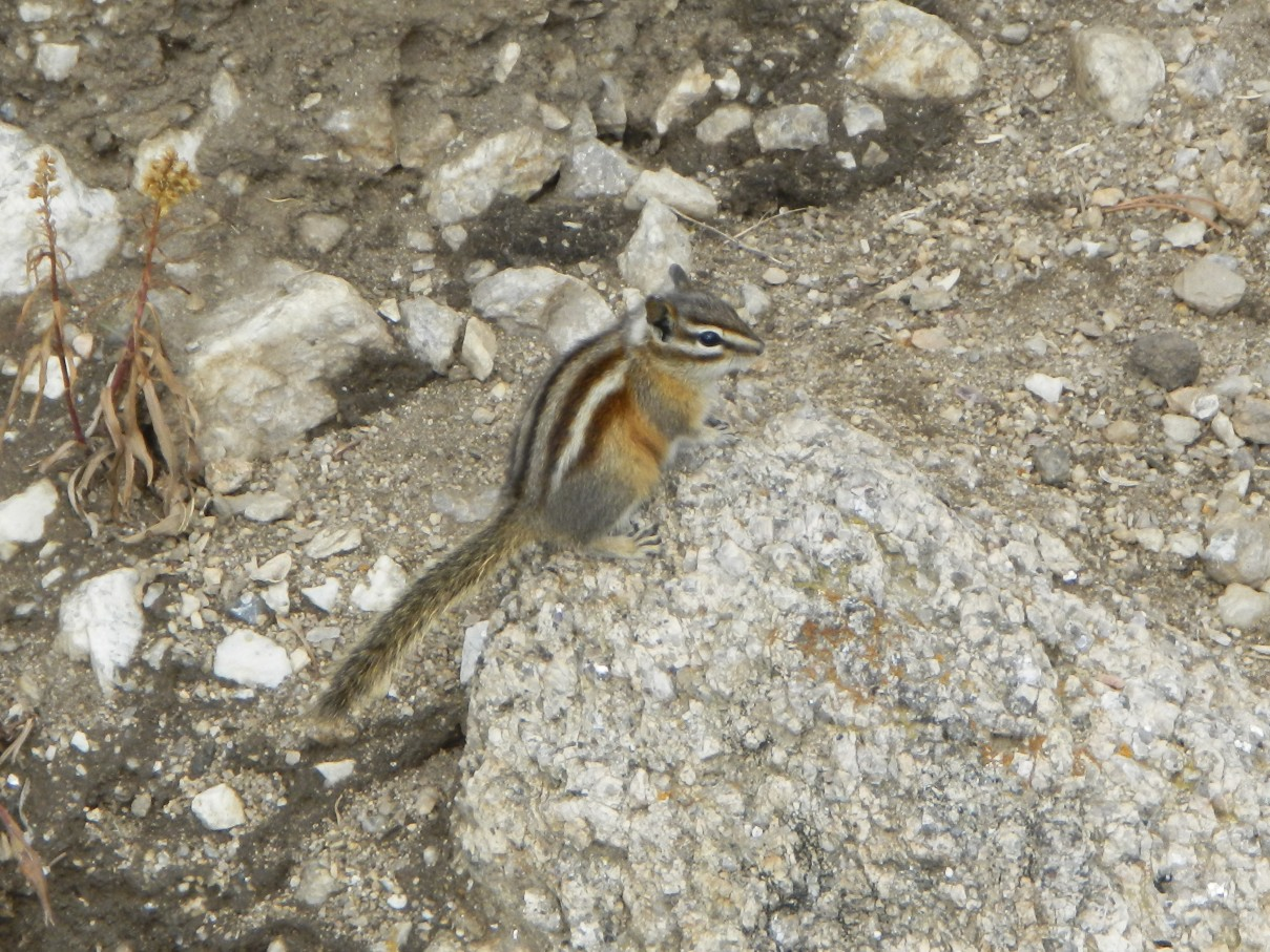 Chipmunk of Custer Park