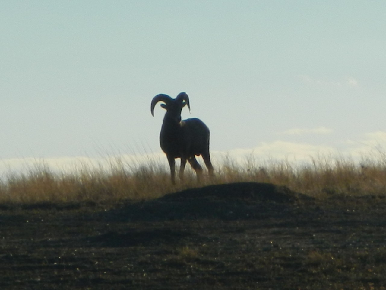 Silhouette of a BIg Horn Sheep