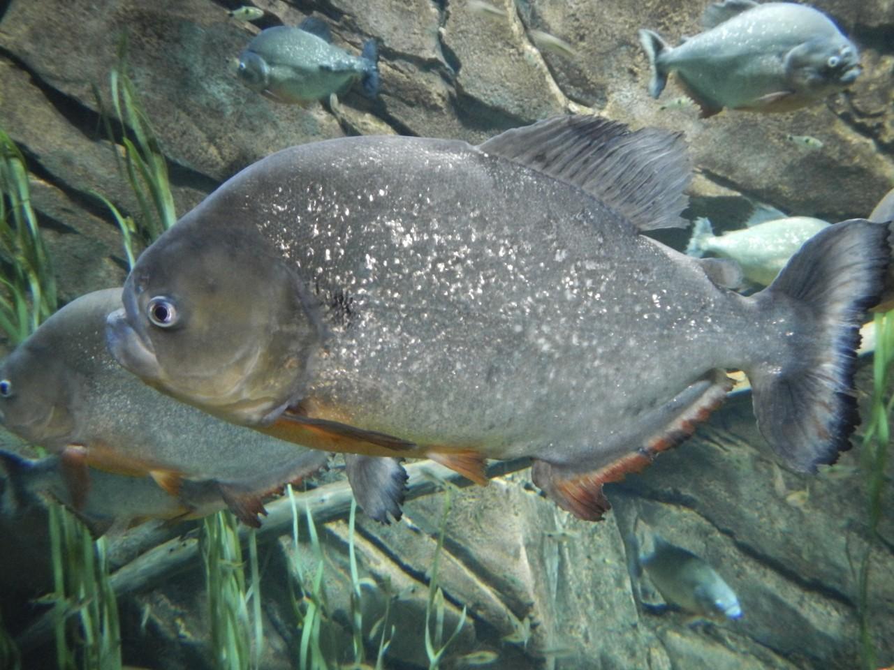 Visiting the georgia aquarium in atlanta review guide for Georgia freshwater fish