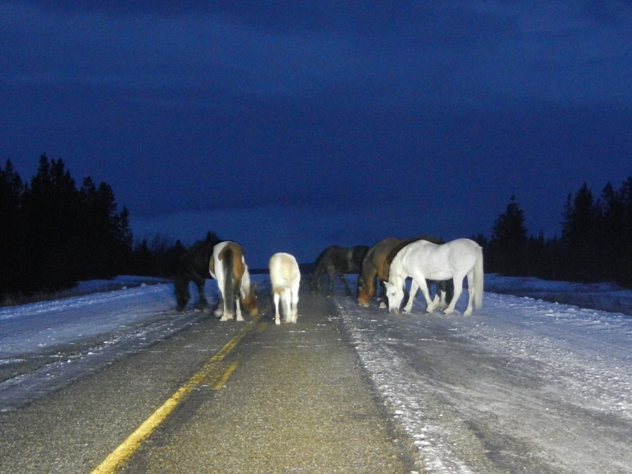 Horses licking the salt off the highway