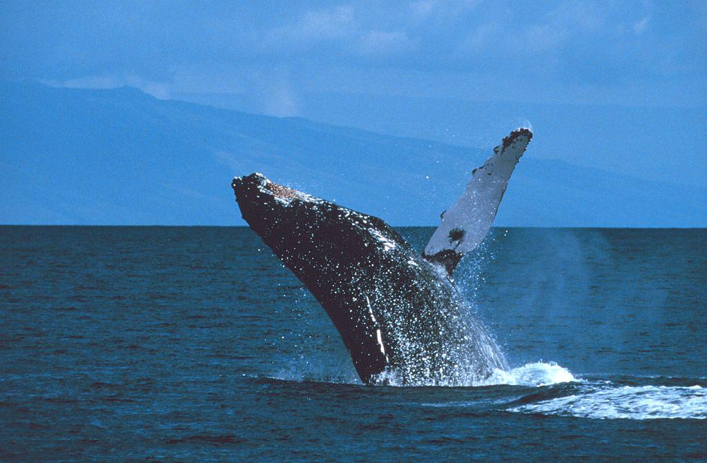 humpback whale breaching Hawaii