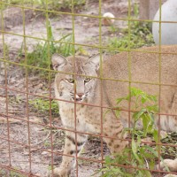 Bobcat-4-Big Cat Rescue-1