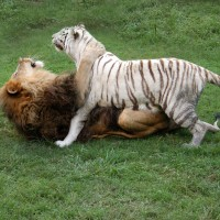 Cam & Zabu - courtesy of Big Cat Rescue