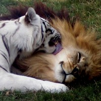 Cameron & Zabu - Big Cat Rescue