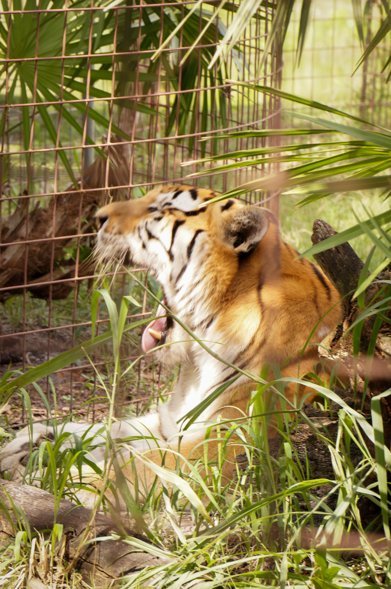 TJ - Tiger-Big Cat Rescue Coupon