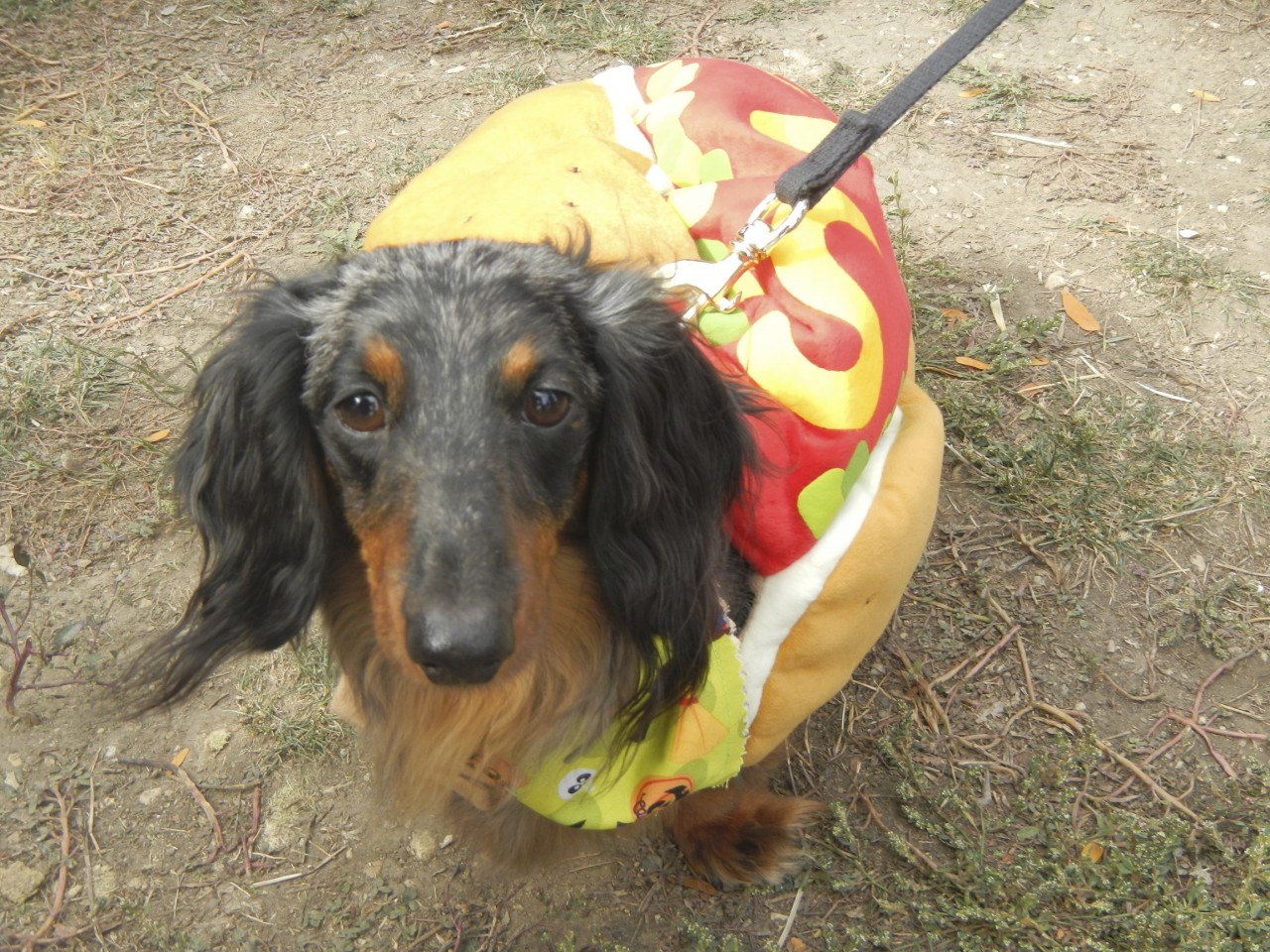 Daschund as a hot dog
