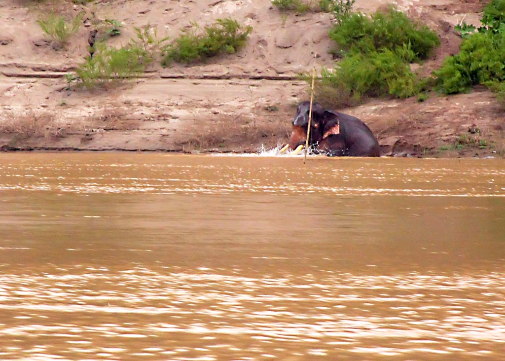 An elephant bathes in the Mekong River