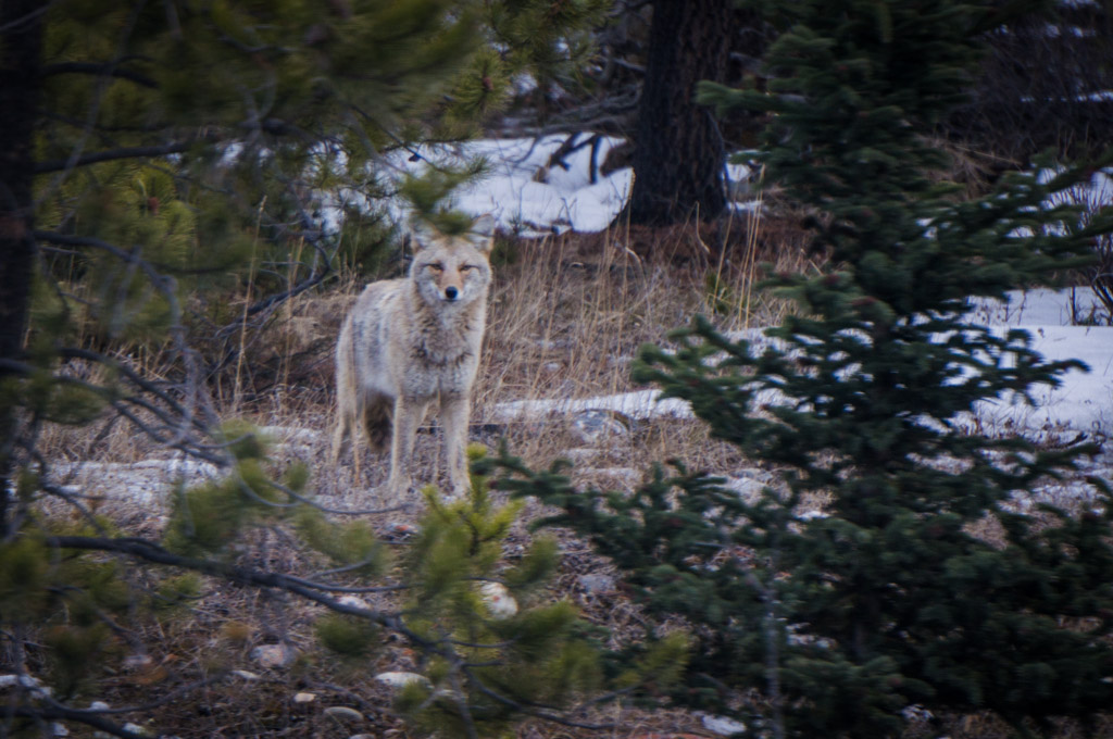 Coyote Jasper Wildlife Tour