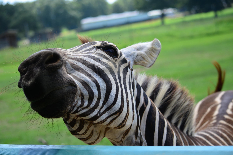 Just a zany zebra