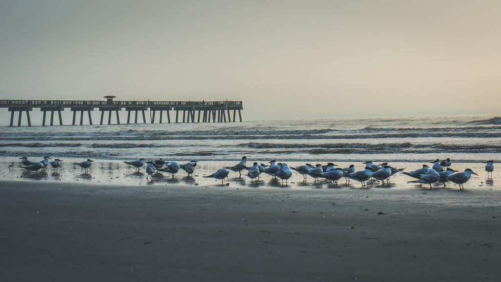Seagulls on Jacksonville Beach