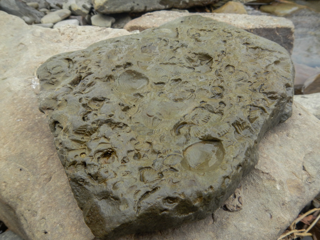 Fossils in a rock from the Chemung River