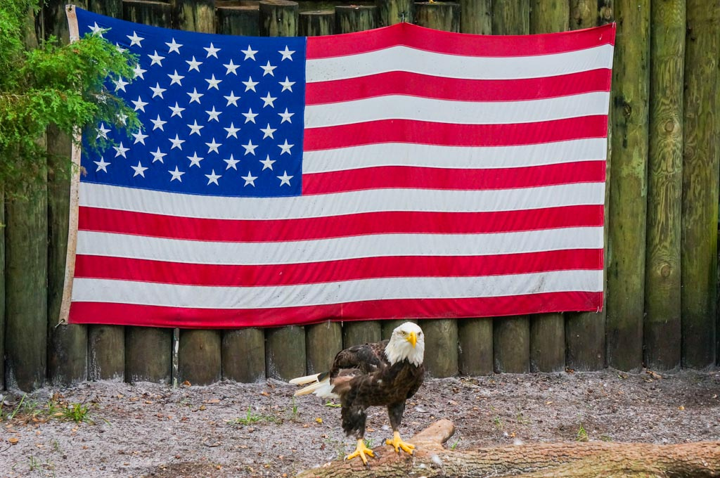 essay bald eagle
