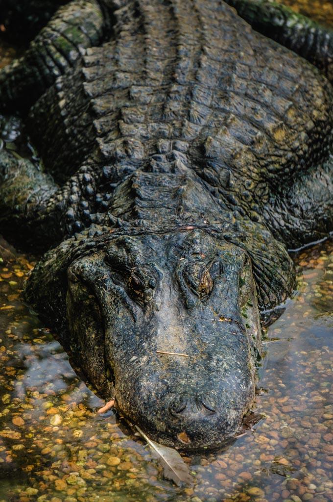 Homosassa Springs Wildlife Park 55 Low-res