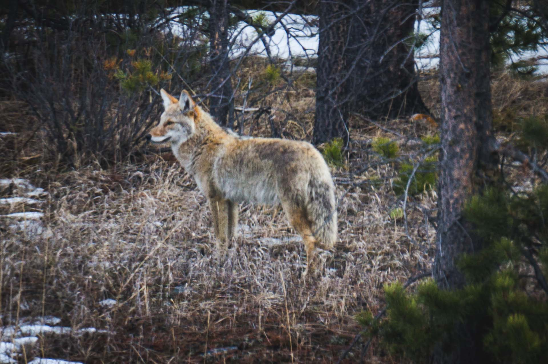Coyote Wildlife in Jasper