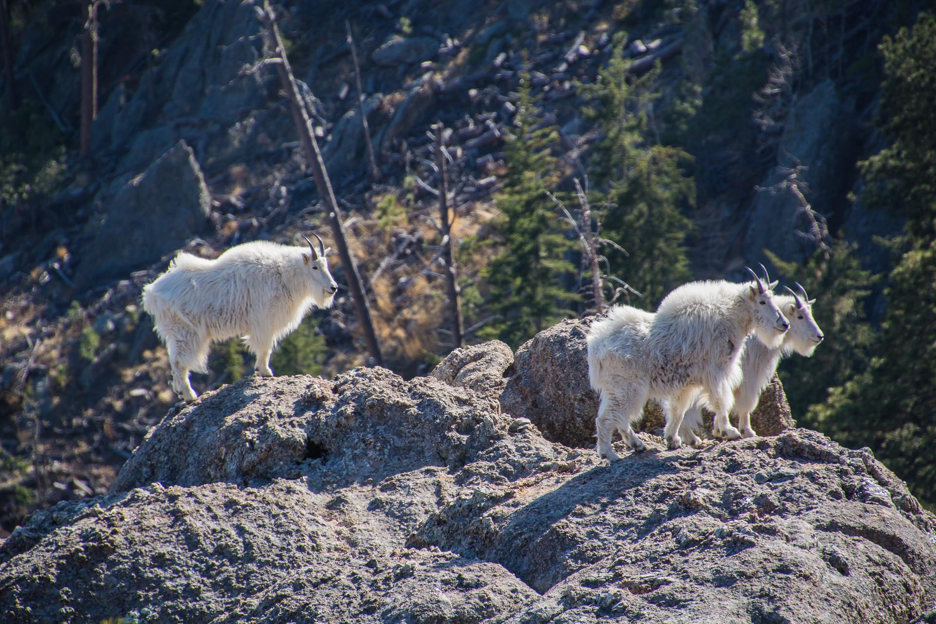 Mountain Goats in Custer State Park