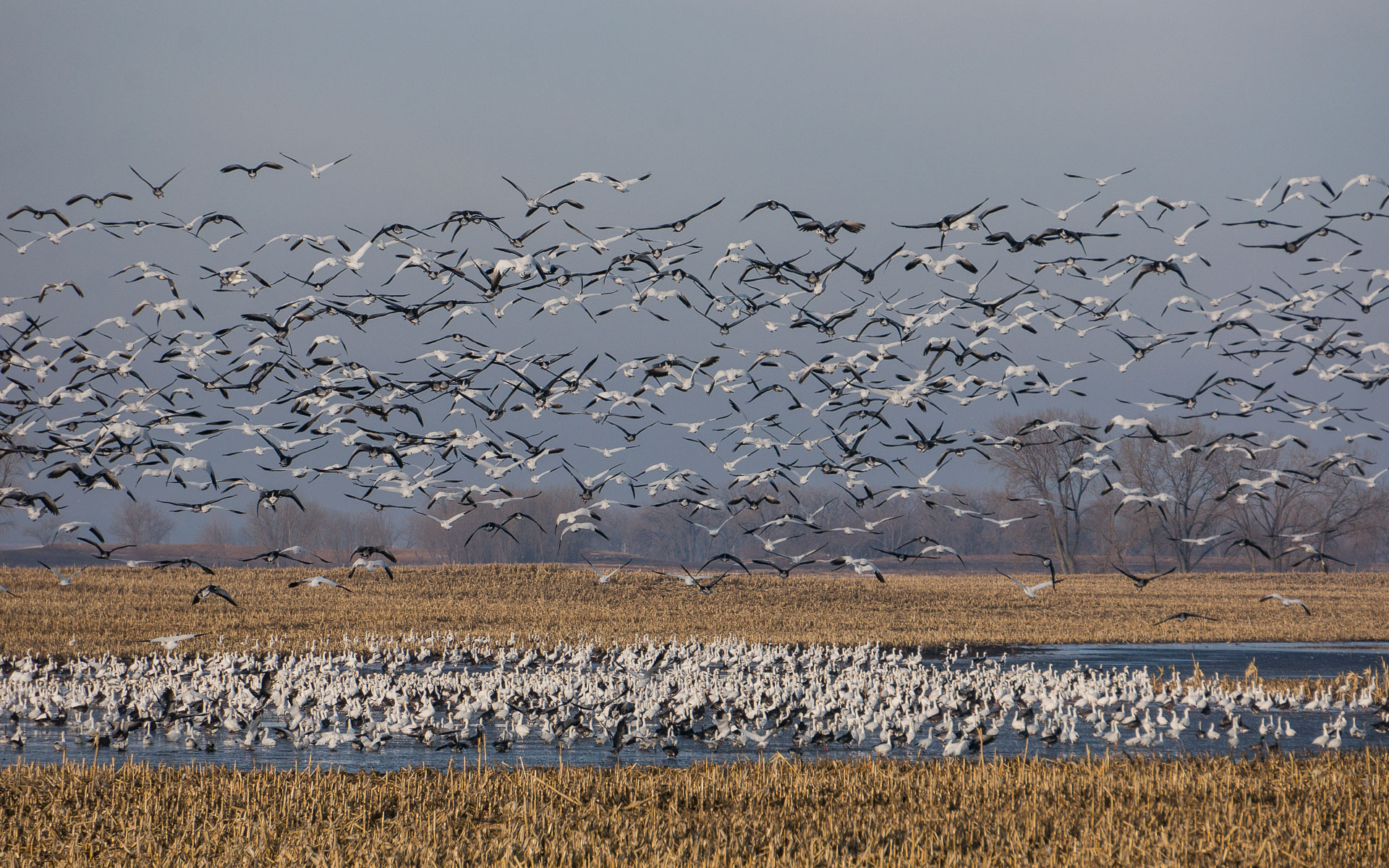 Migratory Birds on a lake in North Dakota