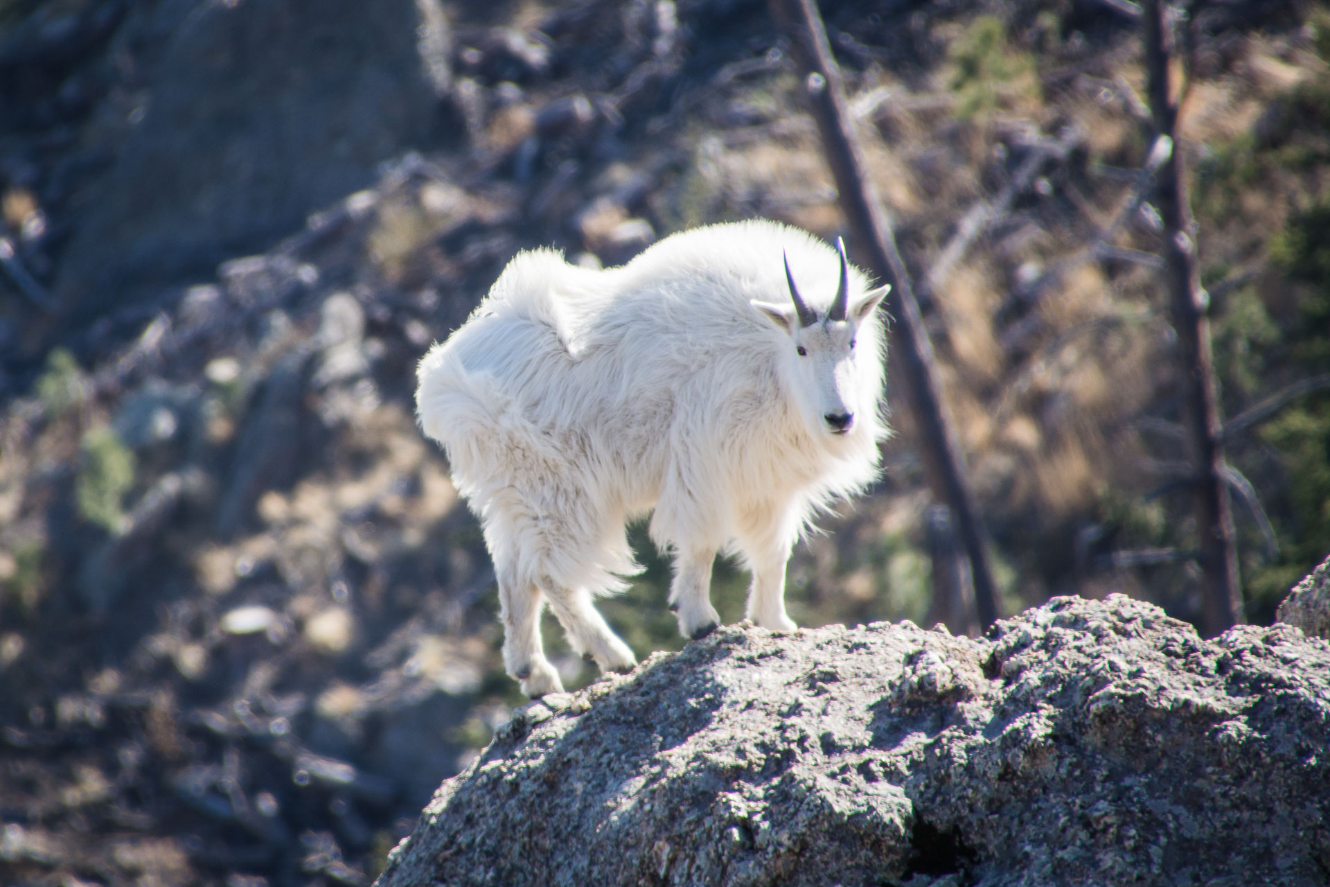 Mountain Goat in Custer State Park - Custer, South Dakota